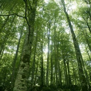 Image of a silver birch forest for the What is Outdoor learning? post